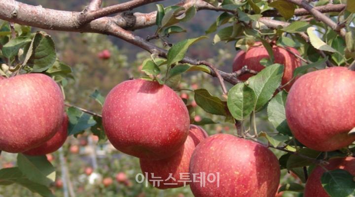양산시 배내골 사과/사진 양산시청